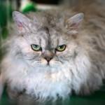 Бомбейская кошка: история, внешность и характер (+ фото)