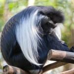 Какую обезьянку стоит пустить в дом? Как правильно с ней общаться, делить жилплощадь и блага цивилизаций